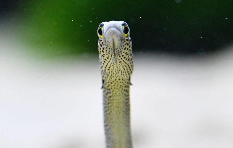 Aquário japonês pede que pessoas conversem com enguias por videochamadas
